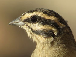 Portrait of a sweetie-pie (Cape Bunting)