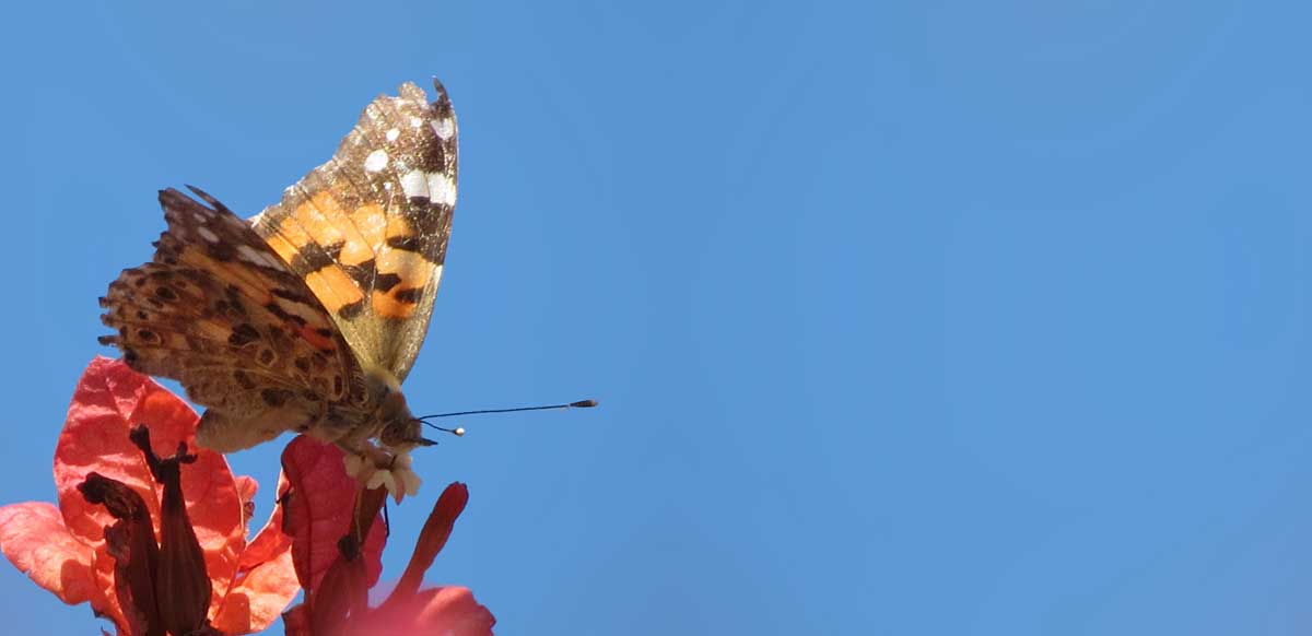 Vanessa cardui Painted Lady